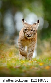 Young Lynx in green forest. Wildlife scene from nature. Walking Eurasian lynx, animal behaviour in habitat. Cub of wild cat from Germany. Wild Bobcat between the trees. Hunting carnivore in autumn.