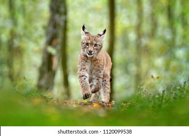 Young Lynx running in green forest. Wildlife scene from nature. Eurasian lynx, animal behaviour in habitat. Cub of wild cat from Sweden. Hunting carnivore in autumn grass.