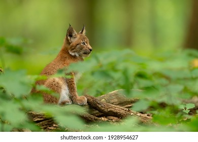 Young lynx sits in the forest