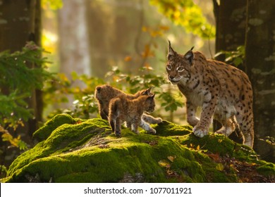 young lynxes