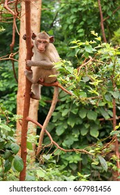 young macaque, Macaca fascicularis climbing in tree,