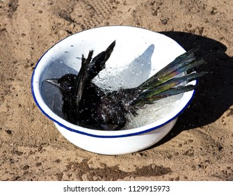 Young Magpie likes to take a refreshing bath at any time.