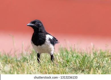 Young magpie sitting in the green grass. Eurasian magpie (Pica pica) walking on the lawn with blurred reddish background.