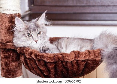 Young Maine Coon cat  lying sitting and posing. White gray and white brown.