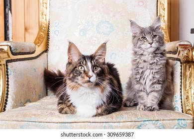 Young Maine Coon cat  lying sitting and posing. White gray and white brown. On the old nice chair