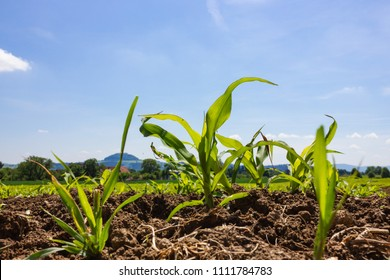 young maize field under blue sky sunshine springtime day in south germany