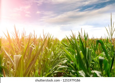 Young maize harness in spring sunny day. Closeup Cornfield .