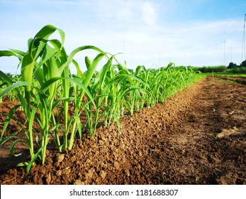 Young maize plant on blue sky background at agriculture field.