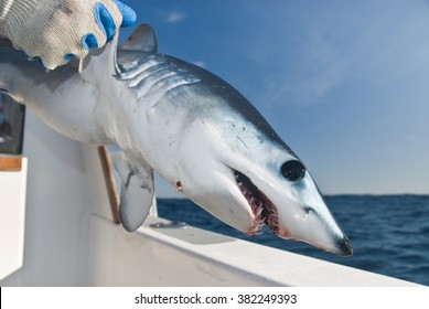 A young mako shark being released from the side of a boat