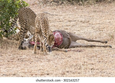 Young male African  cheetahs feasting on antelope kill, Masai Mara National Reserve, Kenya, East Africa