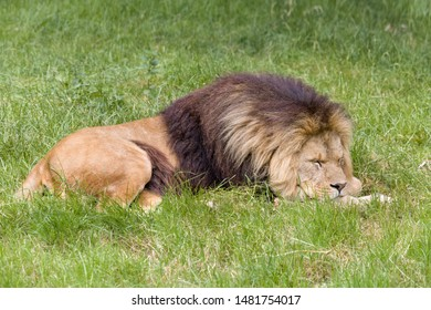 Young male African lion lying in grassland