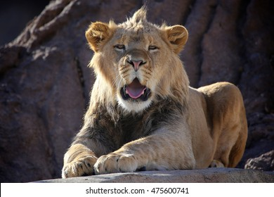 Young Male African lion with mouth open sitting on sunny rock in the day