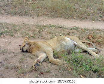 Young male African Lion (Panthera leo), killed after fighting against two big male lions from another clan