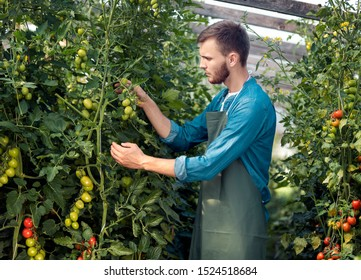 Young male agricultural employee looking after tomatoes in a hothouse
