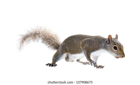 Young male American gray squirrel. Isolated on white background