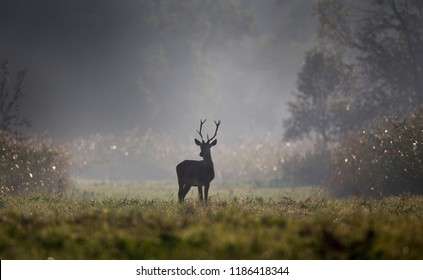 Young male animal red deer with small antlers standing in forest on foggy morning. Wildlife in natural habitat