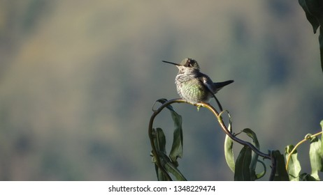Young male anna's  hummingbird perches on a loop of curly willow branch, sunlit against a soft focus garden.