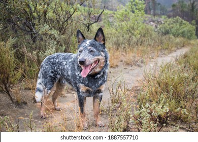 Young male Australian Cattle Dog (Blue heeler) standing on a dirt road looking back