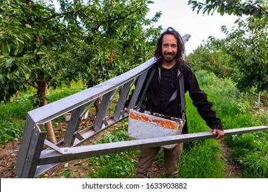 Young male carrying aluminum gardening ladder and walking to pick cherries. Seasonal cherry-picker beginning his work in industrial cherry orchard
