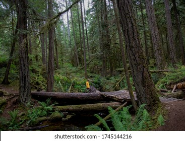 Young male child walking across a log bridge in an old growth forest.