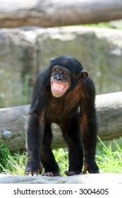 young male chimpanzee monkey standing