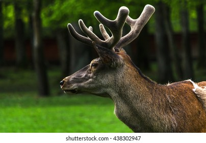 Young male deer in Bialowieza, Poland
