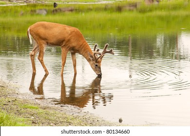 A young male deer (buck) drinks from a peaceful lake.