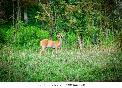"""Young male deer with new antlers covered in """"velvet"""" stands still in a forest facing the camera."""