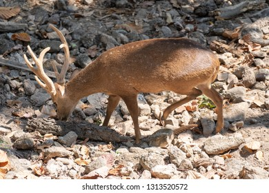 Young male Eld's Deer or brow- antlered deer eating food on the ground in the morning sunlight.