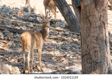Young male Eld's Deer or brow- antlered deer standing on the  ground rocks in forest at the morning.