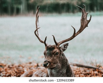 young male fallow deer lying on a meadow in Germany, looking into the camera