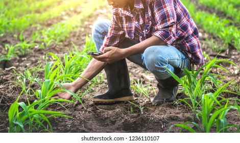 Young male farmer sitting in the corn field and using mobie phone. modern application of technologies in agricultural activities.