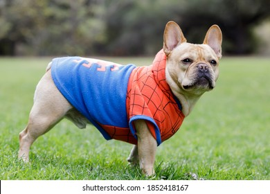 Young Male French Bulldog Dressed Up as Spider Man. Off-leash dog park in Northern California.