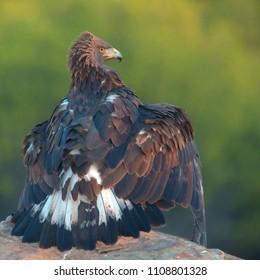 Young male Golden Eagle, (Aquila chrysaetos), wings shielding prey, Sierra Morena, Andalucia, Spain.