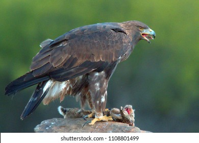 Young male Golden Eagle, (Aquila chrysaetos), with prey, Sierra Morena, Andalucia, Spain.