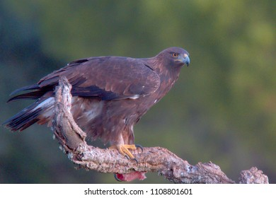 Young male Golden Eagle, (Aquila chrysaetos), standing on a branch, Sierra Morena, Andalucia, Spain.