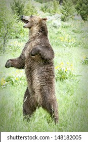 Young male grizzly bear standing and roaring in Montana meadow