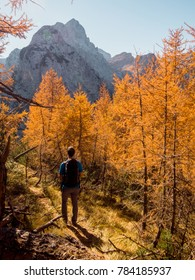 Young male hiker is hiking in the forest among the autumn colored larches in Triglav National Park, Slovenia