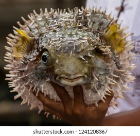 Young male holds a blowfish in a fish farm, Krabi,Thailand.