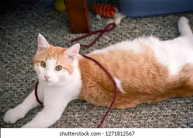 Young Male Housecat Playing with Yarn