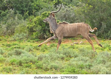 Young male kudu antelope running in a clearing after being startled by a passer by
