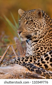 Young male leopard on a branch at sunset