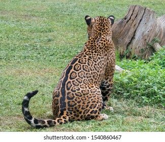 Young male Leopard, profile, 3/4, and backside. Though he was pretty playful annd energetic, everytime he stared like this you could actually see the raw power of nature waiting to be unleashed.