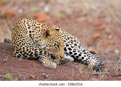 A young male leopard resting in the sand with a side-on view
