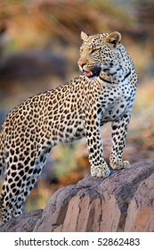 A young male leopard standing on a rock in a game reserve in botswana