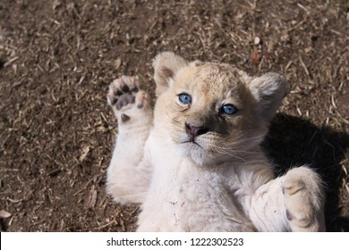 A young male lion cub with blue eyes looks into the camera with paws ready to strike