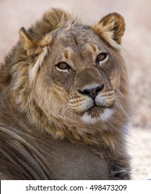 Young male lion isolated from the background