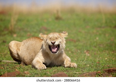A young male lion laughing at the camera