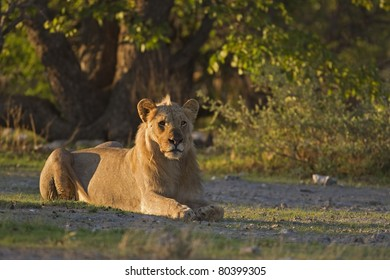 Young male lion laying in early morning sunlight; Panthera leo
