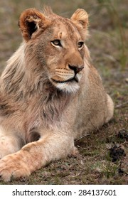 A young male lion looks on. South Africa